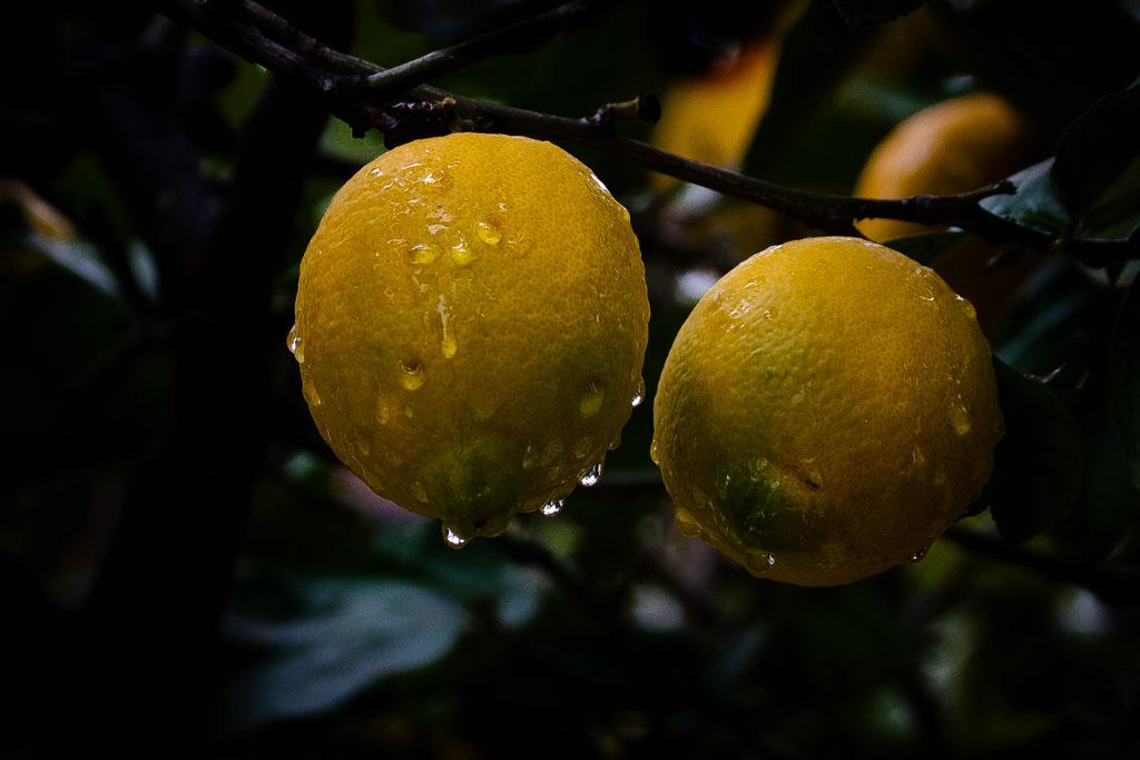 lemons 20081228 143327 img_2728